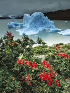 Travel Photography - Chilean Firebrush (Embothrium Coccineum) and Iceberg, Lago Grey, Patagonia, Chile by Colin Monteath