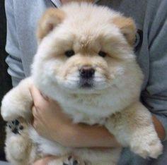 Best Spherical Chubby Adorable Dog - 9793173f7c2e689b1d9a68b34e71cc81--big-teddy-bear-chow-chow-puppies  Image_415215  .jpg