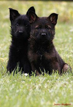 #GSD pups