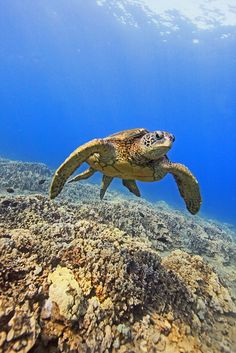 I love turtles Turtle Beach, Turtle Love, Freshwater Turtles, Underwater Sea, Underwater Photographer, Beyond The Sea, Kittens And Puppies, Ocean Creatures, Wildlife Nature