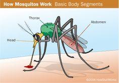 mosquito.gif (401×280)