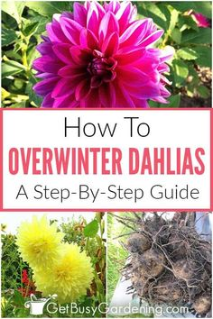 Want to stop buying new dahlia flowers every summer? Save yourself some money and learn how to overwinter your bulbs indoors for successful planting next spring, no matter what climate you're in. Learn when and how to dig up dahlia tubers in fall, and keep them healthy through the winter, without rotting or drying out. Reward yourself with big, beautiful blooms in your garden year after year by properly storing dahlia bulbs in freezing climates for easy planting when the ground softens… Bulb Flowers, Dried Flowers, Dahlia Flowers, Rare Flowers, Dahlias, Gardening For Beginners, Gardening Tips, Urban Gardening, Hydroponic Gardening