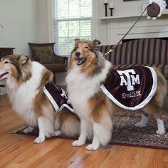 Beautiful First Ladies of Aggieland! Reveille IX (right) begins her first day as the #TAMU mascot on Saturday!