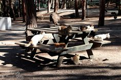 Of cats in Plaka of Antimachia on the island of Kos in Greece  http://www.discoveringkos.com/