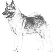 Norwegian Elkhound breed standard illustration: The Norwegian Elkhound is a hardy gray hunting dog. In appearance, a typical northern dog of medium size and substance, square in profile, close coupled and balanced in proportions. The head is broad with prick ears, and the tail is tightly curled and carried over the back. The distinctive gray coat is dense and smooth lying. As a hunter, the Norwegian Elkhound has the courage, agility and stamina to hold moose and other big game at bay by…