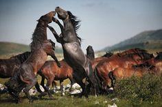 caballo mustang peleando