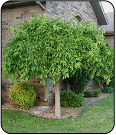 Weeping Mulberry Hoping to get this tree trimmed back like this, this summer. Landscaping Plants, Front Yard Landscaping, Landscaping Ideas, Ficus, Garden Trees, Lawn And Garden, Weeping Mulberry Tree, Back Gardens, Outdoor Gardens