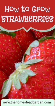 Learn how to grow strawberries in this post. These sweet, popular fruit can easily grow in most gardens, so long as the correct care is given to them. I LOVE strawberries!!