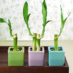 gorgeous mini bamboo plants