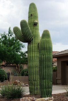 Saguaro Cactus. (Carnegiea gigantea)
