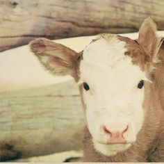 I never really thought of a cow as being especially cute, but...