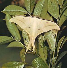 Asian luna moth (Actias selene). Saturniid.