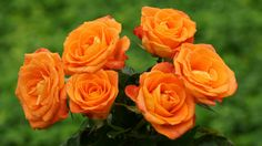 orange roses... propably rare ! dont know!
