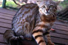 """5 de los animales más raros y desconocidos de Chile: El gato colocolo (Oncifelis colocolo) también llamado """"gato de las pampas"""", """"gato de pajonal"""", """"gato montés"""", """"oskollo"""" (quechua), es de tamaño mediano, con un peso promedio de 3 a 3,7 kg.  Es una especie que por su amplia distribución, presenta una importante variabilidad en la coloración de su pelaje, aunque en todas las subespecies que viven en Chile predominan tonalidades café amarillento y rojizo."""