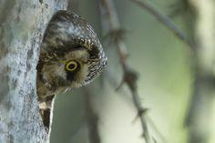 (via 500px / Tengmalm owl - finland by Stephane Leroy)