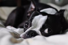 boston terrier... So precious i could cry...