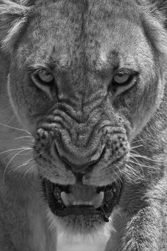 Low Growling Lioness.