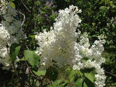 Lilacs, Small Towns, Trail, Scenery, Bloom, Tours, Display, Explore, Ontario