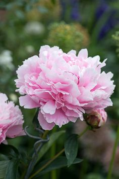 Peony Plant Profile | Nicola Stocken Tomkins