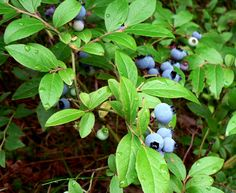 Blueberry Plant Pruning: How To Prune Blueberries