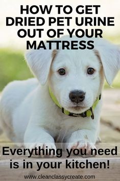 How to Get Pet Urine Out of a Mattress (3 Cleaning Methods to Try!) - Clean & Classy Cute Puppies, Cute Dogs, Dogs And Puppies, Labrador Puppies, Retriever Puppies, Corgi Puppies, Prager Rattler, Dog Urine, Easiest Dogs To Train