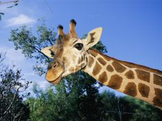 Close View of a Giraffe Looking Down into the Camera Photographic Print by Nick Caloyianis