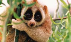 Fuzzy Friday: New Species of Slow Loris Discovered, Nycticebus kayan