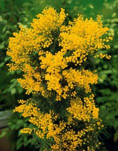 #Mimosa d'hiver