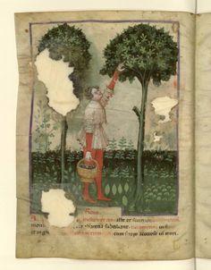 Nouvelle acquisition latine 1673, fol. 1v, Récolte des figues. Tacuinum sanitatis, Milano or Pavie (Italy), 1390-1400.