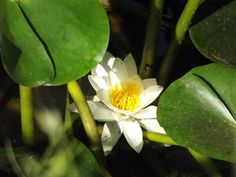 Fiore dello stagno