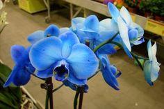 modré orchideje (96 pieces)