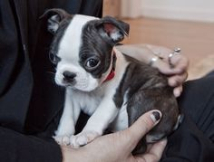 Outstanding bostons info is readily available on our website. Baby Boston Terriers, Boston Terrier Love, Terrier Puppies, Baby Animals, Cute Animals, American Dog, Dogs And Puppies, Doggies, Cute Dogs