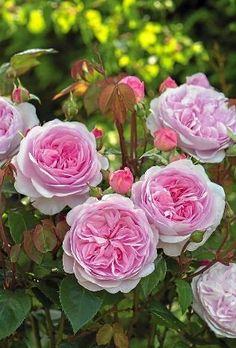 "Rose "" Olivia Rose Austin "" , (AUSmixture) , bred by David C. H. Austin (United Kingdom, before 2005)"