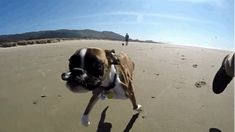A pesar de su discapacidad, Duncan Lou puede correr realmente, realmente rápido. | Este perro de dos patas corriendo en la playa es un increíblemente adorable