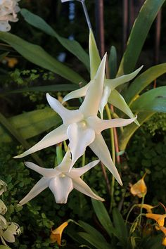 Angraecum sesquipedale x self - Flickr - Photo Sharing!