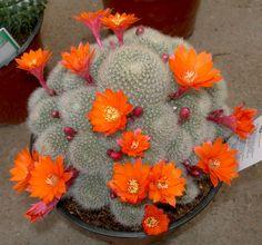 Siempre intentamos ofreceros un amplio surtido de cactus y plantas carnosas , en distintos tamaños, colores y formas. En pos de conse...