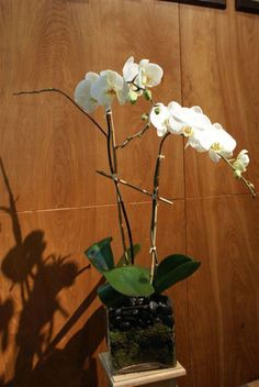 Classic white double stem orchid in glass cube