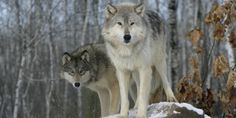 Stop Idaho's Killing Contest! Reverse Federal Approval for the Wolf and Predator Hunt!