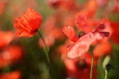poppy by Bibula  on 500px