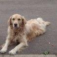 Bella Golden Retriever | Pawshake