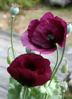 Full size picture of Opium Poppy, Breadseed Poppy, Lettuce Leaf Poppy 'Lauren's Grape' (Papaver somniferum), Valmue Bloom, Flower Pictures, Flower Images, Flower Ideas, Garden Plants, Flower Power, Planting Flowers, Flowers Garden, Beautiful Flowers