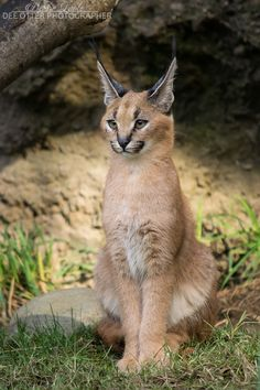 ~~Elegance, thy name is kitten | Caracal kitten | by DeeOtter~~