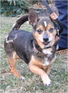 Timon is an adorable 9 year old Chihuahua mix