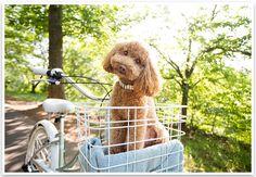 just like my poodle in her bike basket :)  great vintage bike!