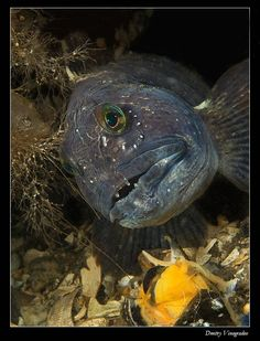 1000 images about weird fish on pinterest fish angler for Ugly fish pictures