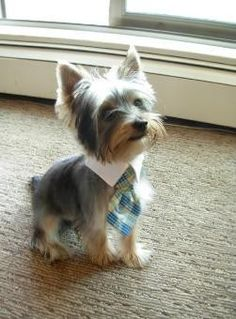 Yorkshire Terrier dog yorkshire-terrier a-pin-a-day