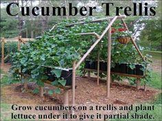 Cucumber trelis