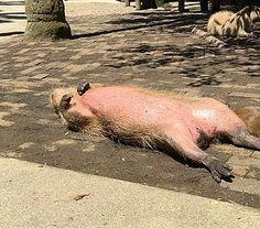 長崎県西海市の動植物園長崎バイオパークが、だらけきったカピバラの姿を公式Twitterで公開し、1日で1万2000リツイートされるなど話題です。     齧歯(げっし)類のなかでは最大の種であり、温厚な性格から人気の...