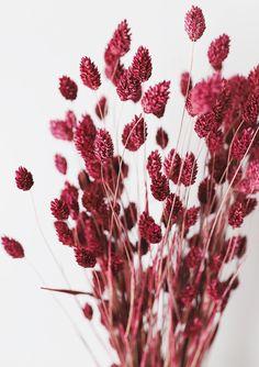 Dried Phalaris Grass Bundle | 10 Stems