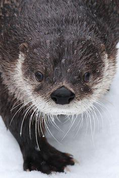 North American River Otter @ Cincinnati Zoo
